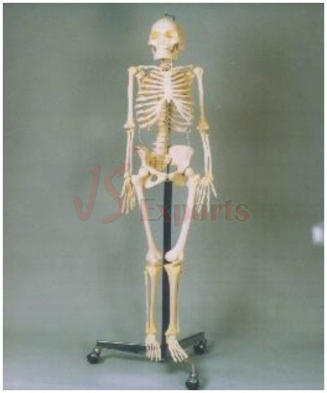 biology lab educational equipment, biological models, anatomical, Skeleton